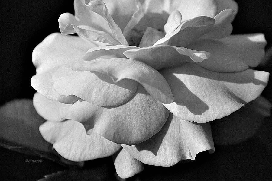Black And White Rose Photography Photography Rose Black And