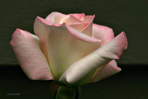 photography-roses-swittersb-pale pink-gardening