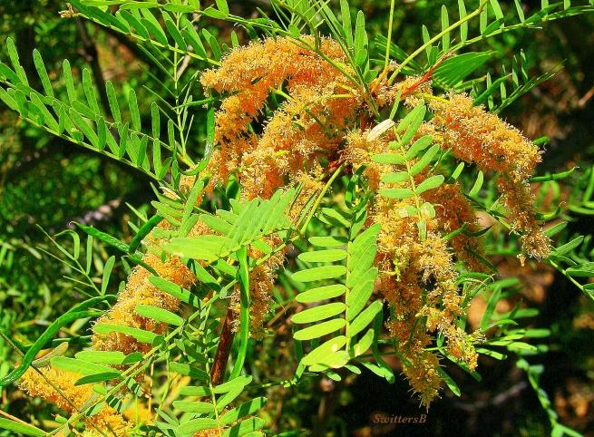 photography-SwittersB-mesquite-trees-Cahuilla-Tahquitz