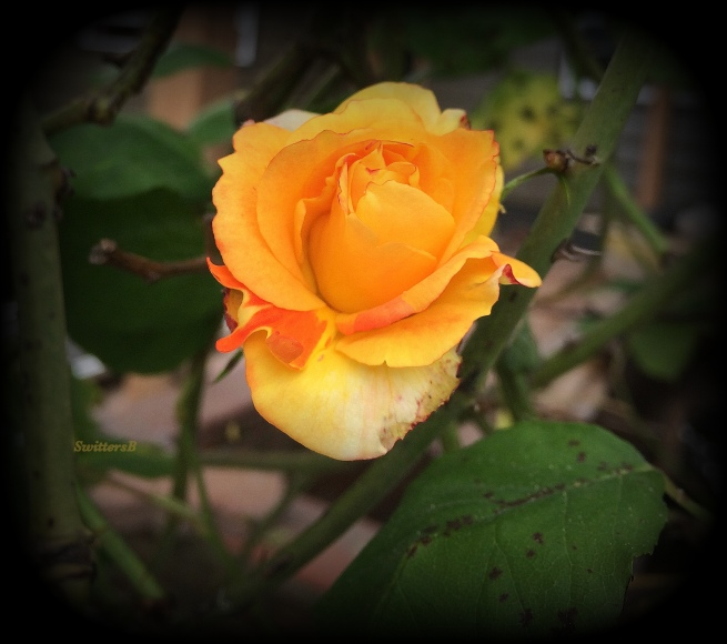 photography---swittersb-yellow rose-forgotten