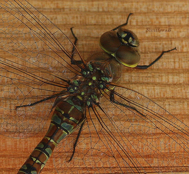 photogtaphy-macro-dragon fly-photography-close up-SwittersB