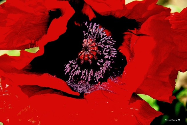 Poppy-Flower-Garden-Macro-Photography-SwittersB