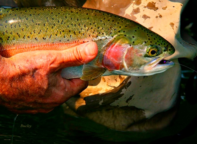rainbow trout-photography-fly fishing-SwittersB-Bucky