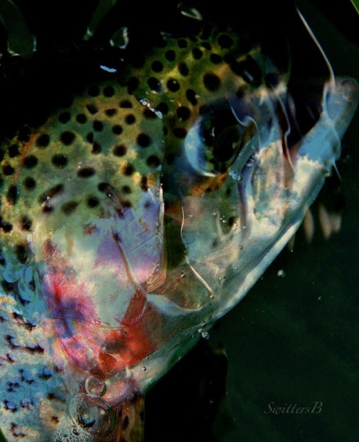 blush-rainbow trout-trout-photography-water-SwittersB