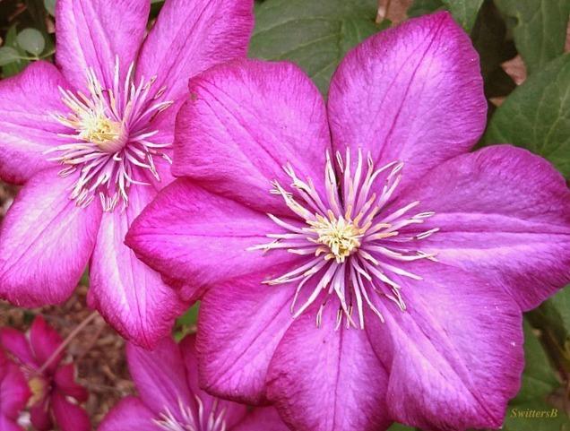 Clematis-flowers-garden-Ville De Lyon SwittersB