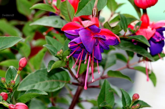 fuchsias-photography-gardening-SwittersB-flowers