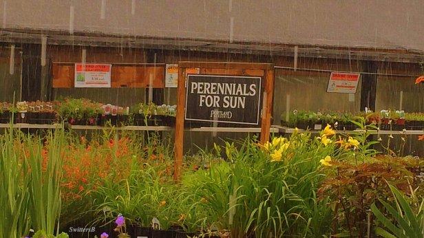 heavy rain-sun-perennials-photography-SwittersB-humor