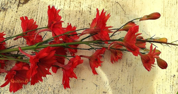 Hyssop-flowers-photography-SwittersB
