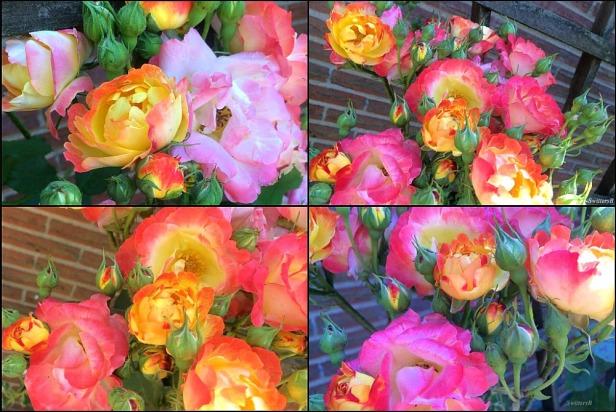 Josephs Coat-photography-garden-roses-SwittersB-climbing rose