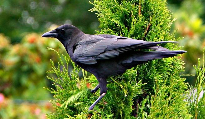 photography-birds-common crow-crow-SwittersB