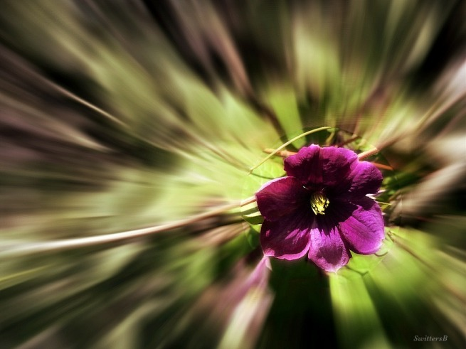photography-clematis-gardening-flowers-SwittersB