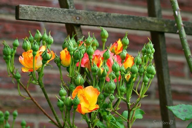 photography-climbing rose-trellis-gardening-rose buds-SwittersB