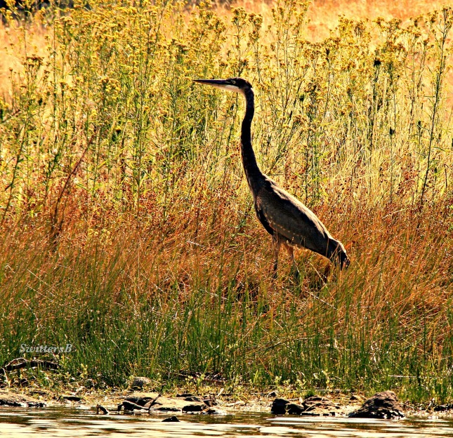 photography-crane-bird-wildlife-telephoto-SwittersB
