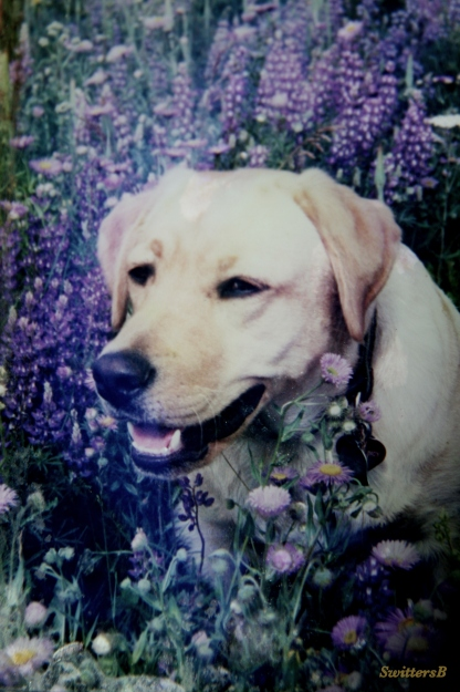 photography-Emma Louise-Yellow Lab-Pets-Death-SwittersB