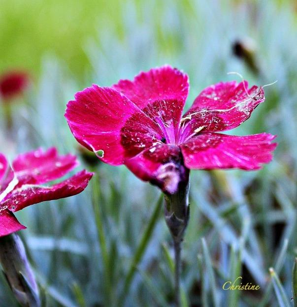 photography-flower-macro-Christine Kelly-SwittersB