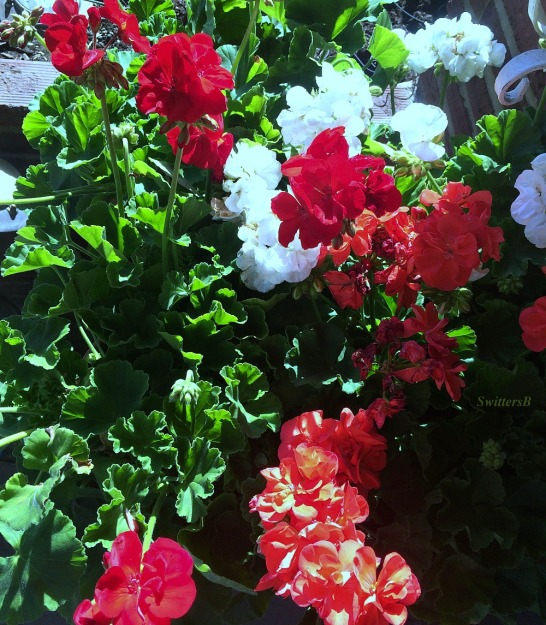 photography-geraniums-flowers-gardening-traditions-SwittersB