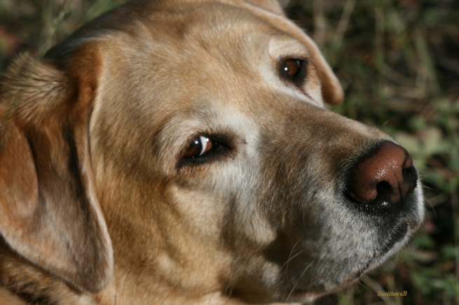 Photography-Pets-Yellow Lab-SwittersB-Emma Louise-Grief