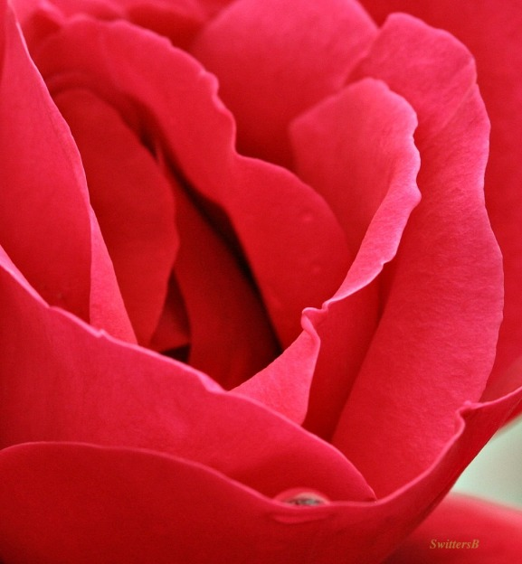 rose petals-red rose-macro-photography-SwittersB