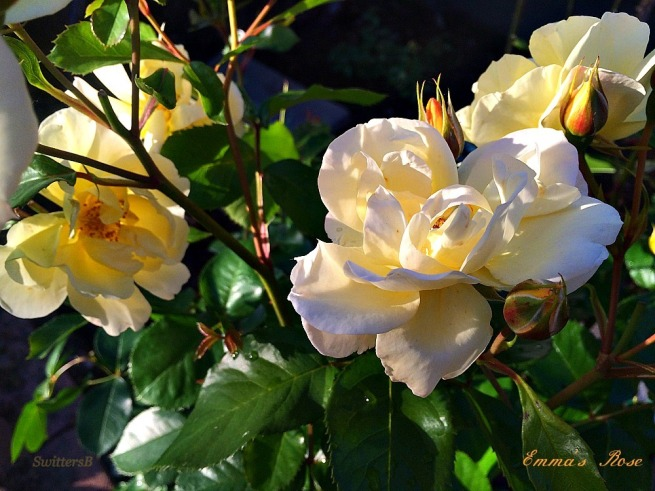 Roses-Photography-Flowers-Gardening-Emma's Rose-SwittersB