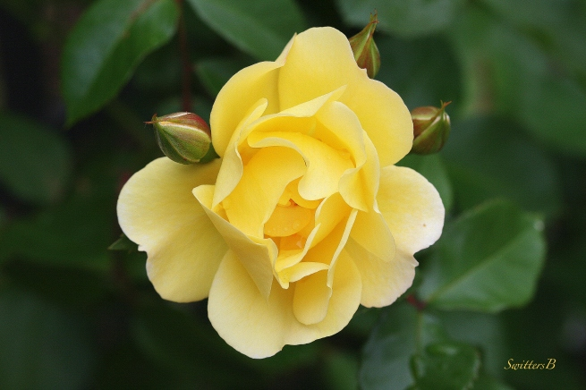 roses-photography-SwittersB-yellow-garden-beauty