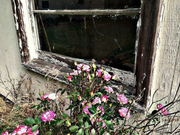 SwittersB-Rose-Old Window-Neglect-Rural