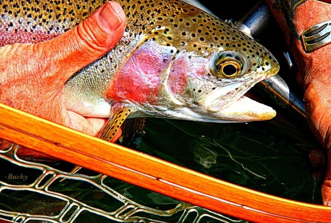 Trout-Kamloops Trout-Photography-Fly Fishing-Bucky-SwittersB