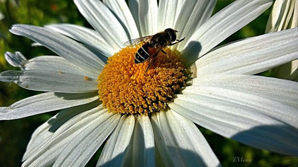 daisy-bee-flowers-macro-Tony Muncy-SwittersB