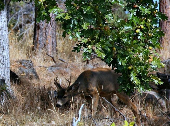 deer-grazing-photography-Oregon-nature-SwittersB