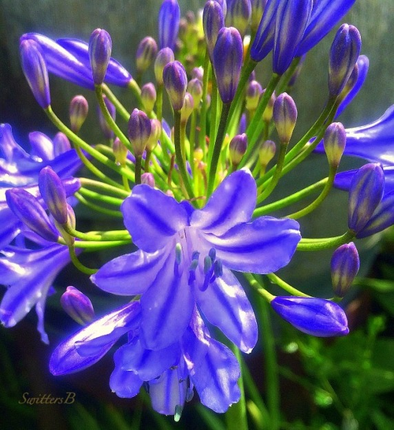 flower-blue-blossoms-buds-photography-SwittersB