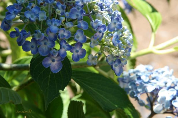 hydrangea-blue-flowers-garden-photography-SwittersB