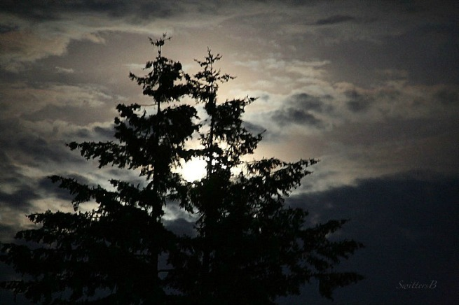 moonrise-moon-fir trees-photography-SwittersB