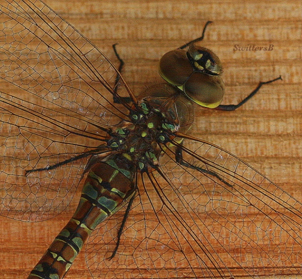 mystic-photogtaphy-macro-dragon-fly-photography-close-up-swittersb
