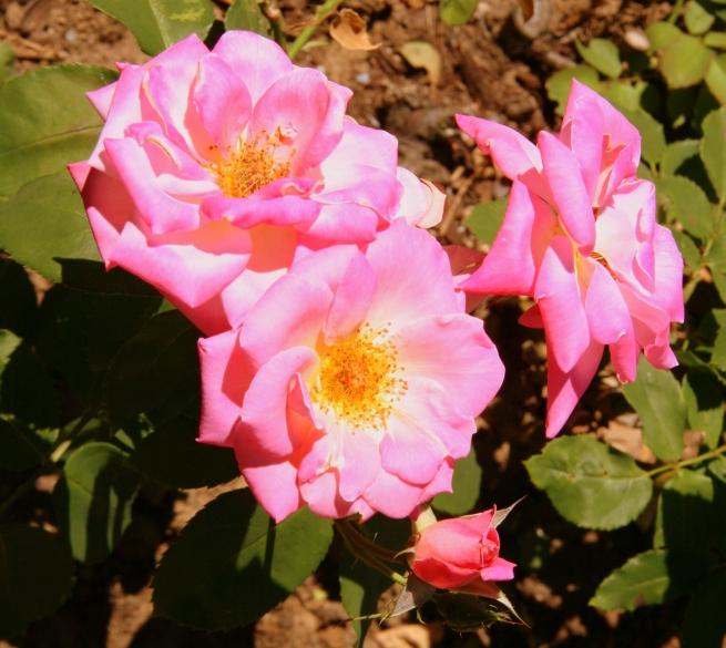 pink floribunda-rose-gardening-flowers-photography-SwittersB