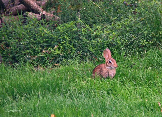 rabbit-lawn-nature-Oregon-photography-SwittersB