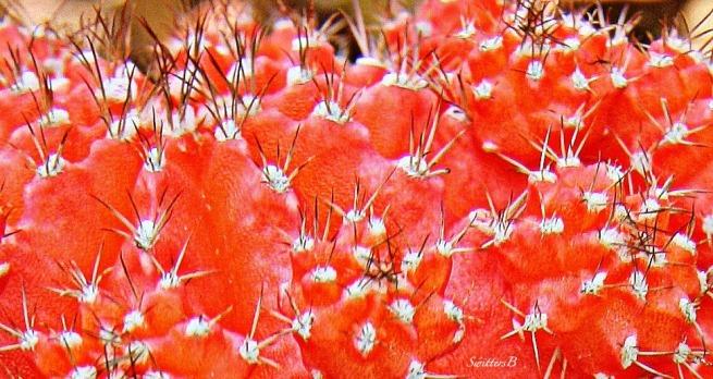 red cactus--SwittersB-photography-desert-nature