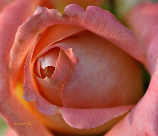 rose bud-flower-macro photography-SwittersB