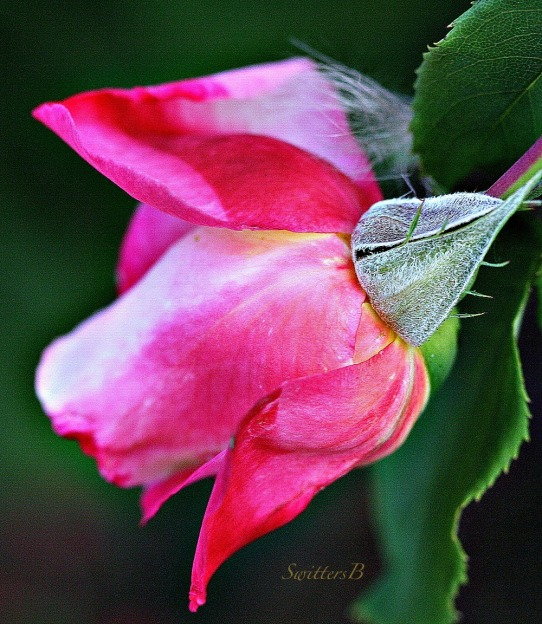 rose bud-rose-garden-photography-SwittersB