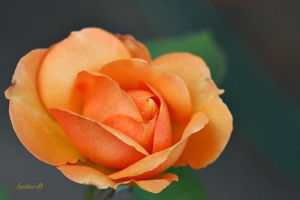rose-peachy-flowers-gardening-macro-photography-SwittersB
