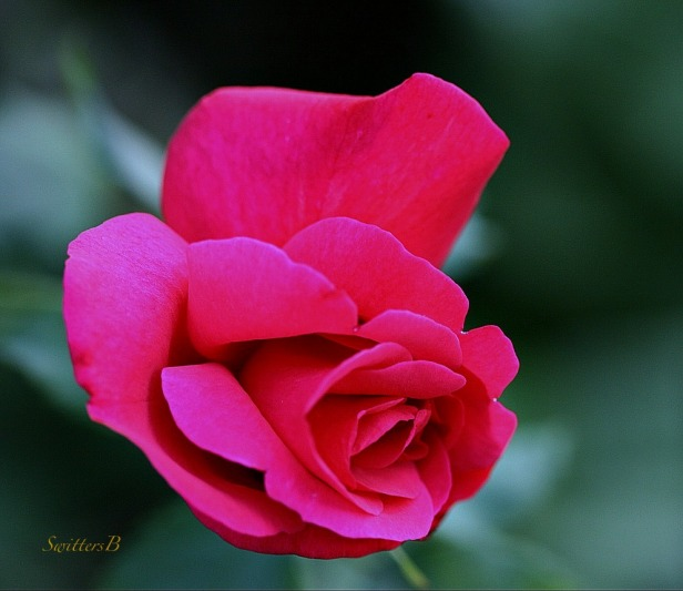 rose-red-macro-photography-SwittersB