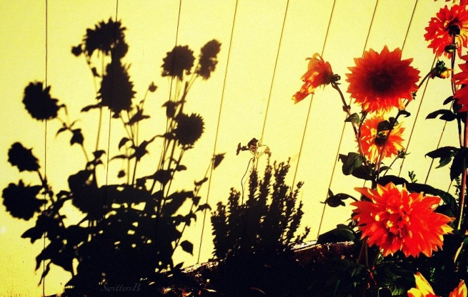 shadows-SwittersB-flowers-photography-dahlias