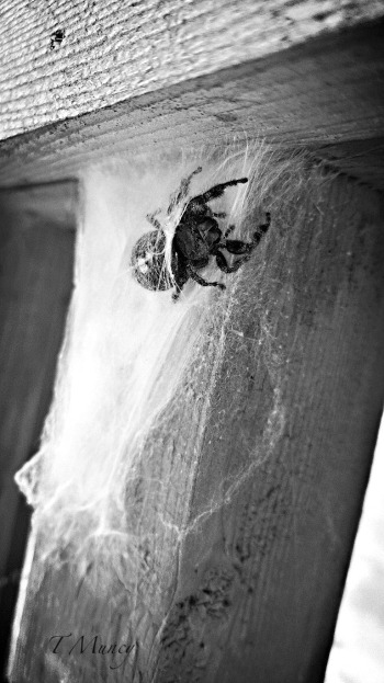 spider-Tony Muncy-web-photography-SwittersB