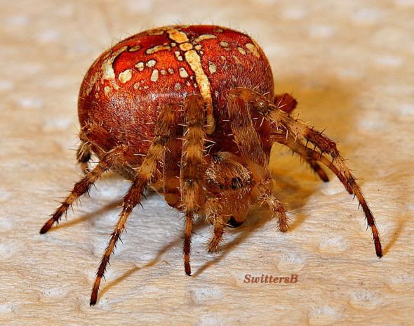 swittersb-spiders-nature-macro-photography