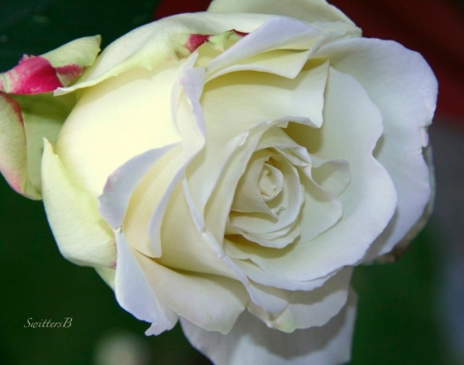 white rose-SwittersB-macro photography-garden