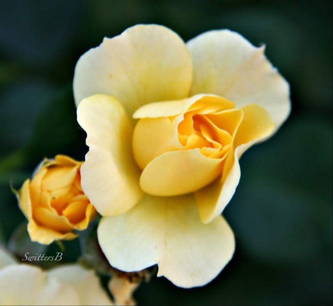 yellow rose-Emma's Rose-macro-photography-garden-SwittersB-dawn