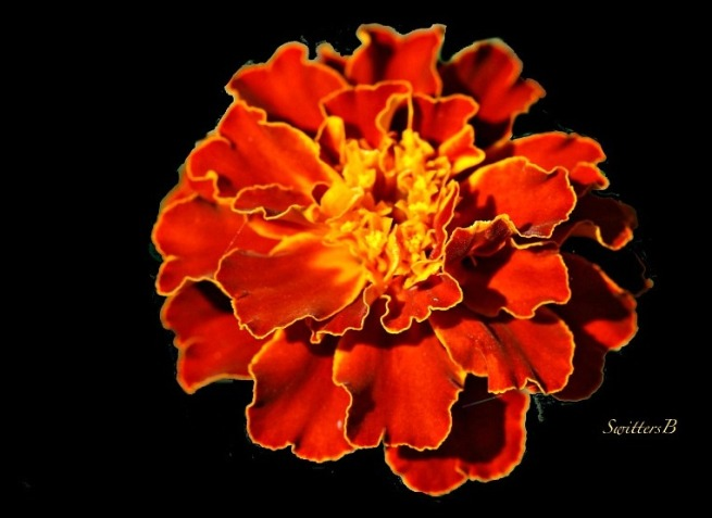 an orange flower--blacked out-macro-photography-SwittersB-flowers-garden