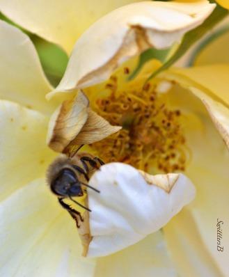 bee-honey bee-antenna-macro-photography-SwittersB