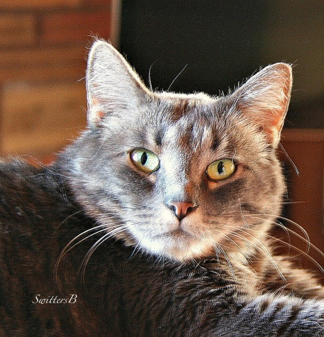 cat-Penny the Cat-Tabby-pets-photography-SwittersB