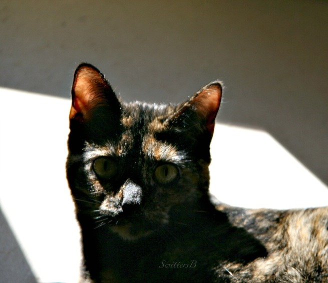 cats-tortoise shell-photography-pets-SwittersB-Ninnie the Cat
