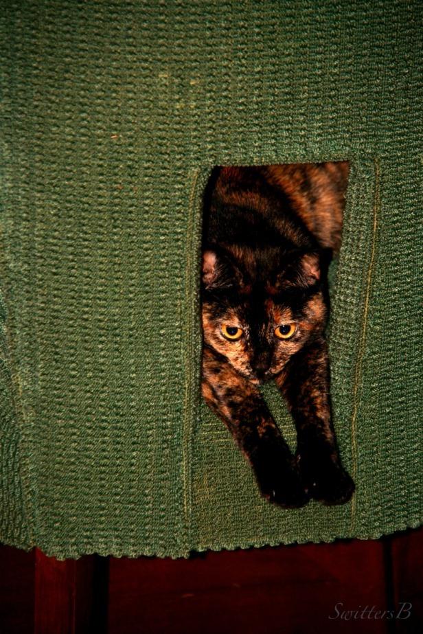 Cats-Tortoiseshell Calico-Photography-Ninnie the Cat-SwittersB
