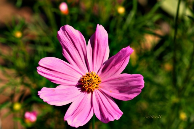 Cosmos-Flower-Hugs-photography-SwittersB-flowers-garden